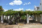 Der wohl älteste Weinstock der Welt wurde 1870 gepflanzt und trägt heute noch reichlich