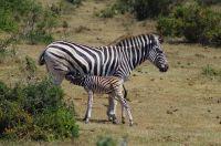 Immer wieder schön anzusehen – die Zebras