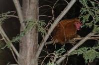 Dort hängt nachts das Federvieh in den Bäumen...