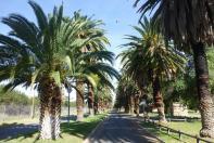 Zum Campingplatz in Upington führt eine schöne Palmenallee