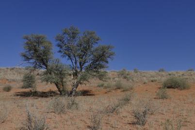 typisch Kalahari