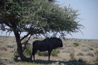Gnus sind nicht unbedingt die intelligentesten Tiere, einen schattigen Baum in der Mittagssonne finden sie allemal.
