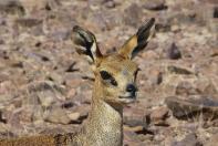 Es sind nur vier Beine, ein Paar Augen und ein Paar Ohren. Dikdiks sind mit rund 40 cm Schulterhöhe die kleinste Antilopenart.