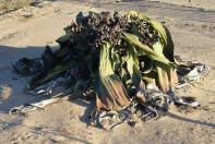 Schmucklos aber alt, die Welwitschia. Sie besteht aus nur zwei Blättern...