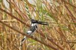 Der Kingfisher hat sich eben sein Dinner besorgt.