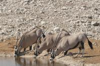 Oryxe trinken, indem sie sich hinknien...