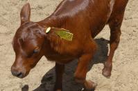 Es ist gar nicht so kompliziert wie es aussieht: Das Kälbchen wurde als 105. Tier im 2. Halbjahr 2015 geboren.