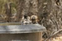 40 Grad sind überschritten, da ist es auch den Vögeln zu warm. Sie sind über jedes erfrischende Bad dankbar, auch wenn es auf dem Bild nicht so aussieht.