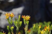 ... führte uns durch eine beindruckende Fynbos-Vegetation.
