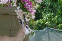 Sag es mit Blumen. Die Bougainvillea schmeckt dem Springbock offensichtlich sehr gut.