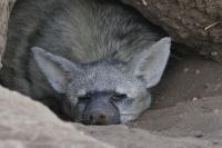 Müde blinzelt der Erdwolf am Morgen aus seiner Höhle.