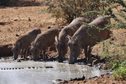 Vom Kroko lassen sich die Warzenschweine nicht stören, wenn sie nur richtig Durst haben.
