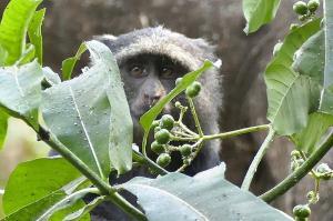 Schade, die Beeren sind noch nicht reif! Ein Blue Monkey auf Futtersuche.
