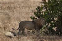 ... Löwen schleppen sich träge durch's Gras...