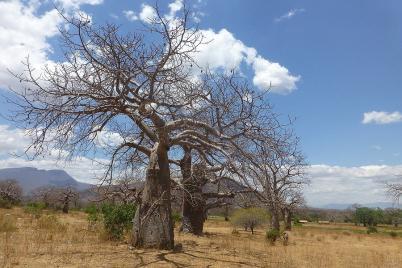 Freunde von Baobab-Bäumen kommen auf der Strecke zwischen Daressalam und Iringa voll auf ihre Kosten