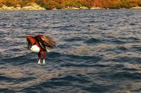 Knapp daneben, der Weißkopfseeadler wird einen neuen Anlauf nehmen, um sein Abendessen zu sichern.