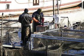 Die Silvesterkarpfen werden frisch aus der Havel gefischt.