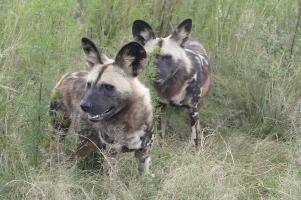 Wenn uns jetzt eine Antilope über den Weg läuft... Zwei Tiere aus einem der seltenen Wildhundrudel.