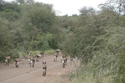 Ein Rudel Wildhunde sammelt sich zur Jagd.