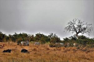 Gnus und Zebras sind oft gemeinsam anzutreffen. Böse Zungen behaupten, dass die Gnus sonst allein den Weg nicht finden würden.