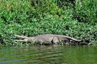 Am Limpopo wimmelt es von Krokodilen.