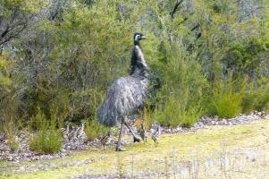 Kalaharichicken ist out, Emu ist in. Bemerkenswerterweise macht sich das Weibchen nach der Eiablage aus dem Staub und das Männchen kümmert sich um den Nachwuchs.