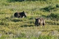 """Sehen aus wie """"Rüsselschweinsteddybären""""- die Wombats."""