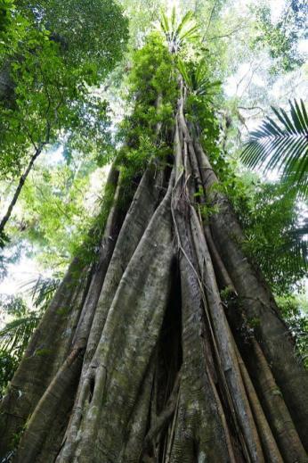In den wärmeren Regenwaldgebieten sind die uralten Bäume häufig von Würgefeigen umgeben.