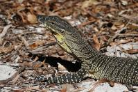 Auf Fraser Island sind auch Buntwarane heimisch, die mittags gern in der Sonne lümmeln.