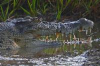 Noch liegen die Krokodile schläfrig am Ufer.