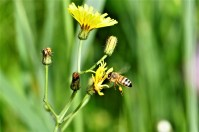 Bienen bei der Arbeit auf einer saftigen Almwiese.