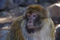 Satt und gelangweilt blickt der Chef der Affenbande in die Runde.