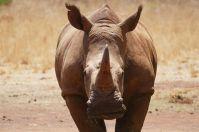 Nashörner sind selten geworden, ihr Bestand ist durch Wilderei stark gefährdet.