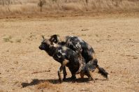 Während diese Wildhunde viel Spaß miteinander haben…