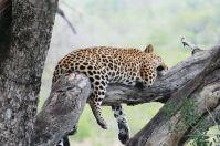 … hat sich der Leopard nach einem üppigen Mal zur Ruhe gelegt.