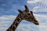 animal-africa-giraffe