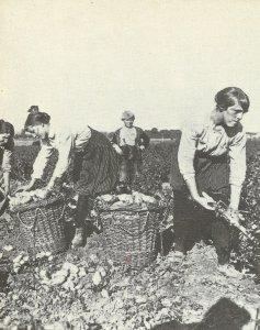 Frauen bei der Kartoffelernte