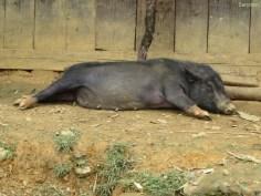 Schwein müsste man sein!