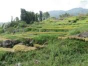Hier waren noch Reisfelder, die noch nicht abgeerntet waren.