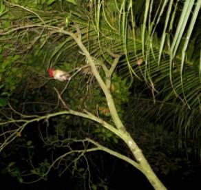 Die Huehner schlafen im Baum