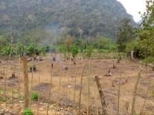 Baumstümpfe werden abgebrannt damit die Fläche genutzt werden kann