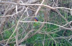 süßer Blu Eared Kingfisher