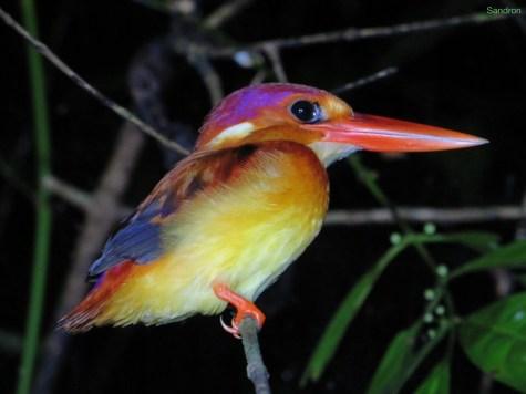 schöner Kingfisher