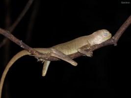 sleepy Gecko