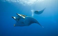 -manta-ray-sea-underwater-1641754-1680x1050