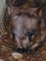 Ein Wombat!!