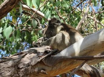 Und dann direkt unser erster wilder Koala!!