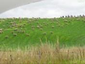 Überall Schafe!!