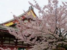 Kirschblüten & Tempel = immer eine gute Kombo