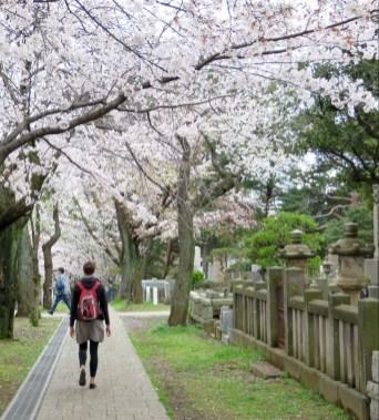 Kirschblüten im Wind